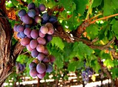VineBranchGrapes