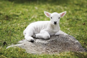 Lamb on Rock